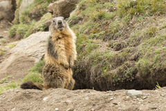 Isolated marmot portrait outside its nest Royalty Free Stock Images