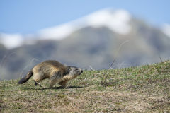 Isolated Marmot while running on the mountain background Royalty Free Stock Image