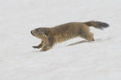 Isolated Marmot while running on the snow Royalty Free Stock Photos