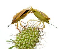 Isolated mating of shield bugs Royalty Free Stock Photos
