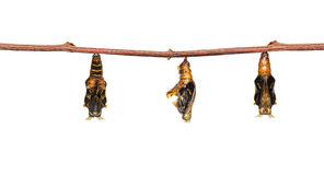 Isolated mature chrysalis of colour segeant butterfly with skin. Isolated mature chrysalis of colour segeant butterfly hanging on twig stock images