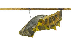 Isolated mature cocoon of common birdwing butterfly in white bac Stock Image