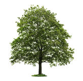Isolated mature maple tree. Single maple tree with green leaves isolated on white background stock photography