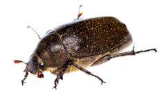 Isolated Maybug Beetle Royalty Free Stock Photography
