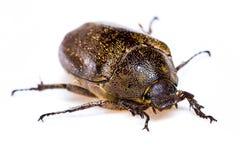 Isolated Maybug Beetle Royalty Free Stock Images