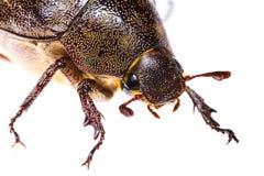 Isolated Maybug Beetle Stock Photography