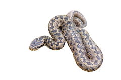 Isolated meadow viper Stock Image