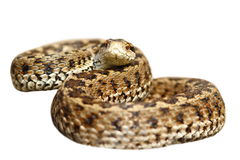 Isolated meadow viper ready to strike Stock Photos