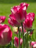 Isolated Medium Pink Tulips with Stems royalty free stock photography