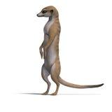 Isolated meerkat Stock Photos
