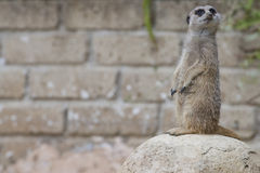 Isolated meerkat looking at you Stock Images