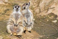 Isolated meerkat Stock Photo