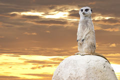 Isolated meerkat looking at you Stock Photography