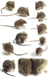 Isolated mice Royalty Free Stock Images