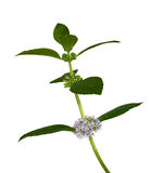 Isolated mint leaves with flowers Stock Images