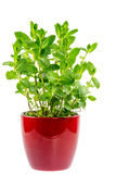 Isolated mint plant in a ceramic pot Royalty Free Stock Photos