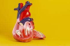 Isolated model of a human heart stock photo
