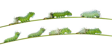 Isolated molting caterpillar of Atlas butterfly. With clipping path Royalty Free Stock Photo