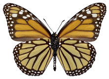 Isolated monarch butterfly Stock Photography