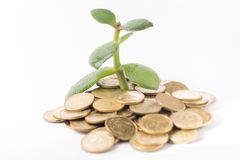Young tree grow from heap of coins. Isolated money tree on white background growing from money Stock Photography