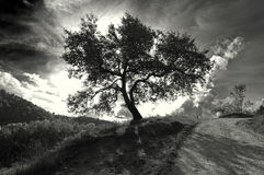 Isolated monochrome tree Stock Images