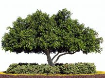 Isolated Moreton Bay Fig Tree. Isolated photo of Moreton Bay Fig Tree with hedge Royalty Free Stock Photography