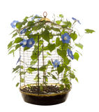 Isolated Morning Glory. An isolated bird cage containing morning glory flowers and vines Royalty Free Stock Photos