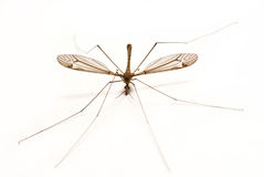 Isolated Mosquito on White Stock Images