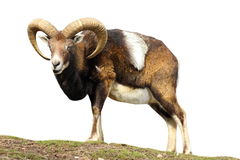 Isolated mouflon looking at the camera Royalty Free Stock Images