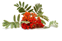 Isolated mountain ash. On white background Royalty Free Stock Photography