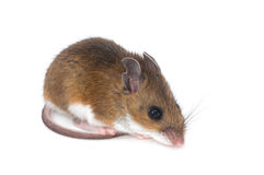 Isolated Mouse. Photograph of a young Deer Mouse isolated against a white background stock photo