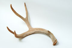 Isolated mule deer antler on white background Stock Photo