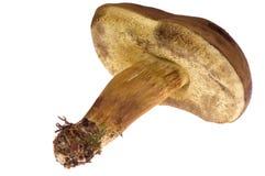 Isolated mushroom. Wild mushroom isolated on the white Stock Photography