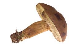 Isolated mushroom. Wild mushroom isolated on the white Royalty Free Stock Photo