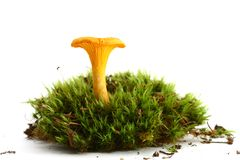 Isolated mushroom Royalty Free Stock Photography