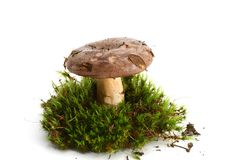 Isolated mushroom Royalty Free Stock Photography