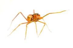 Isolated Myrmarachne plataleoides jumping spider. Female Myrmarachne plataleoides jumping spider on white background Royalty Free Stock Photography