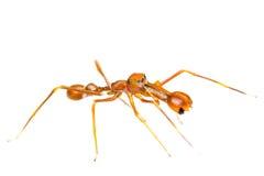 Isolated Myrmarachne plataleoides jumping spider. Male Myrmarachne plataleoides jumping spider on white background Stock Photo