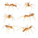Isolated Myrmarachne plataleoides jumping spider Royalty Free Stock Image