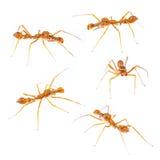 Isolated Myrmarachne plataleoides jumping spider. Male Myrmarachne plataleoides jumping spider set on white background Stock Photo