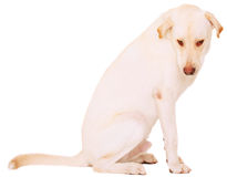Isolated Nervous Male Labrador Stock Image