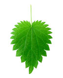 Isolated nettle leaf Stock Photo