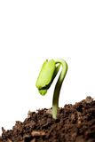 Isolated New life-plant growing from seed on white background Royalty Free Stock Images