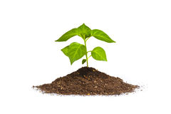 Isolated new plant. Isolated image of green plant Royalty Free Stock Photography