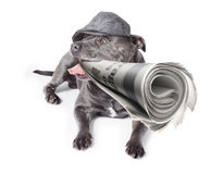 Isolated newspaper dog carrying latest news Royalty Free Stock Photos
