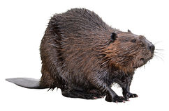 Isolated North American Beaver Stock Images