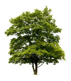 Isolated Norway Maple Tree royalty free stock photos