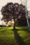Isolated oak tree. In a very beautiful and sunny day Royalty Free Stock Images