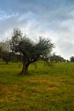 Isolated olive tree Royalty Free Stock Photo