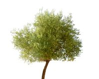 Isolated olive tree Royalty Free Stock Image